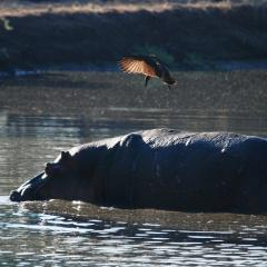 Hippo at Lake Kariba
